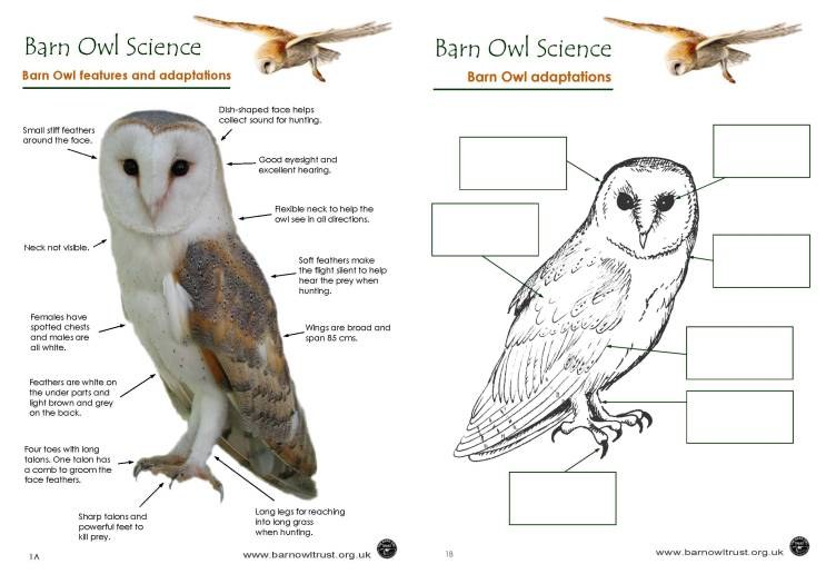 Barn Owl colouring page The Barn Owl Trust